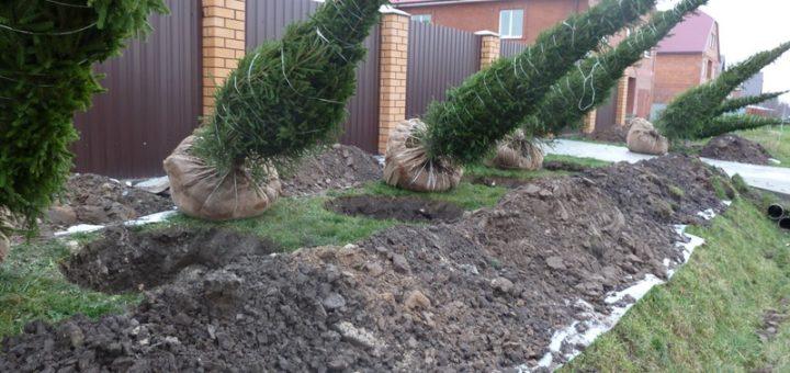 Как пересадить взрослое дерево? Tatra Garden